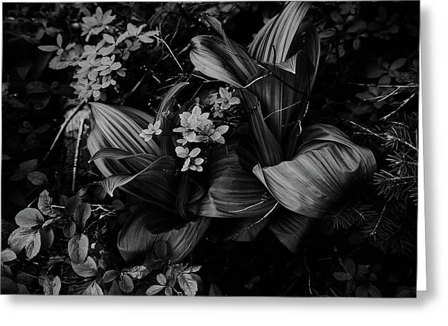 Greeting Card featuring the photograph Indian Hellebore 3 by Trever Miller
