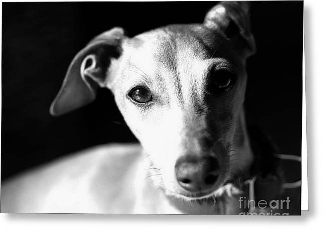 Italian Greyhound Portrait In Black And White Greeting Card