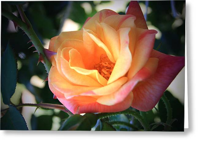 Jacob's Rose Greeting Card by Marna Edwards Flavell