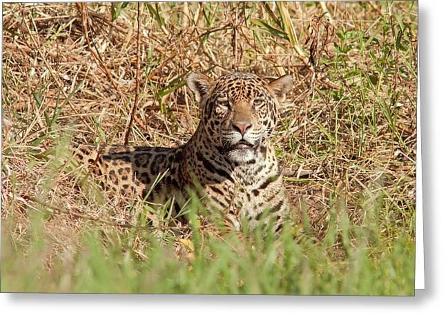 Jaguar Watching Greeting Card