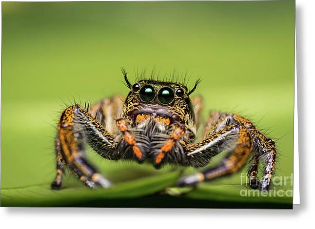 Greeting Card featuring the photograph Jumping Spider On Green Leaf. by Tosporn Preede