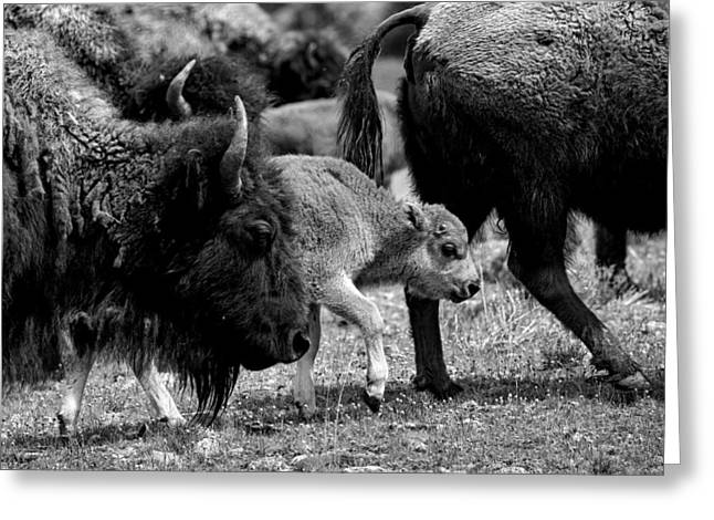 Keeping Up With The Herd Greeting Card by NPS Neal Herbert