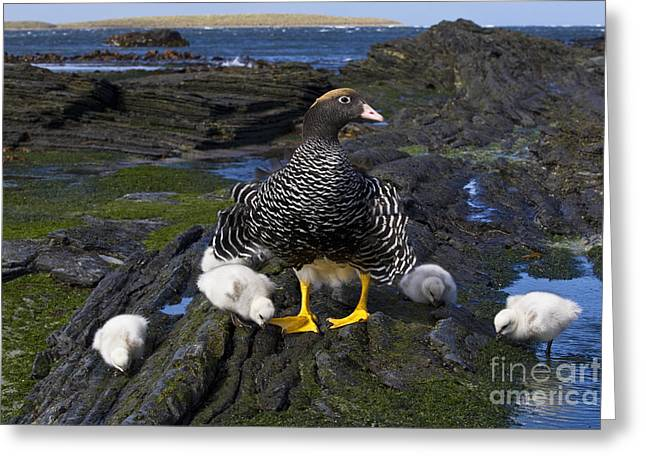 Kelp Goose With Goslings Greeting Card by Jean-Louis Klein & Marie-Luce Hubert