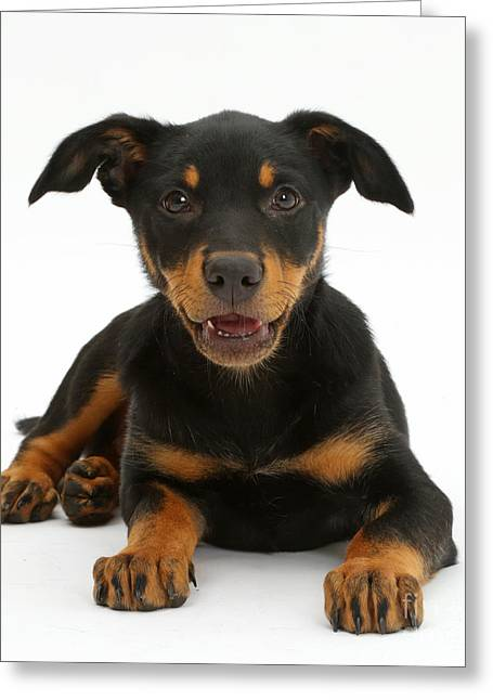 Kelpie Puppy Greeting Card by Mark Taylor