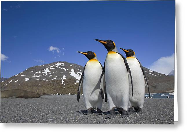 Aptenodytes Greeting Cards - King Penguin Aptenodytes Patagonicus Greeting Card by Ingo Arndt