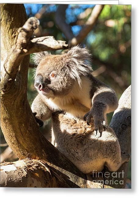 Koala Greeting Card by Andrew Michael