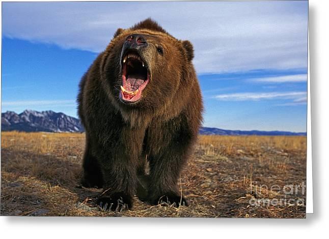 Kodiak Bear Ursus Arctos Middendorffi Greeting Card by Gerard Lacz