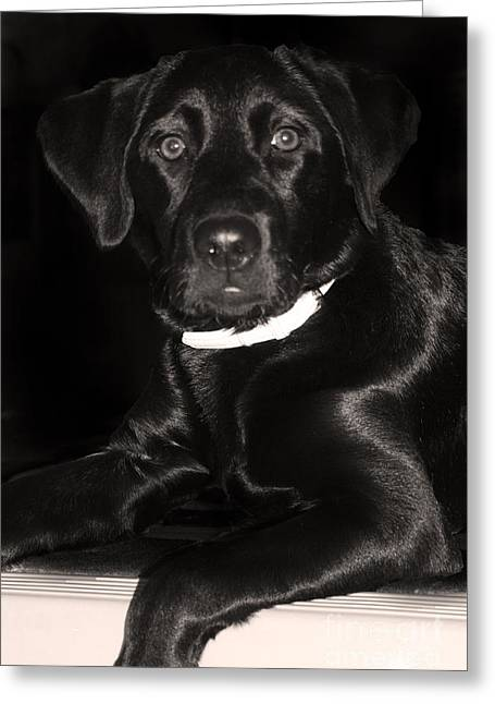 Labrador Retriever  Greeting Card by Cathy  Beharriell