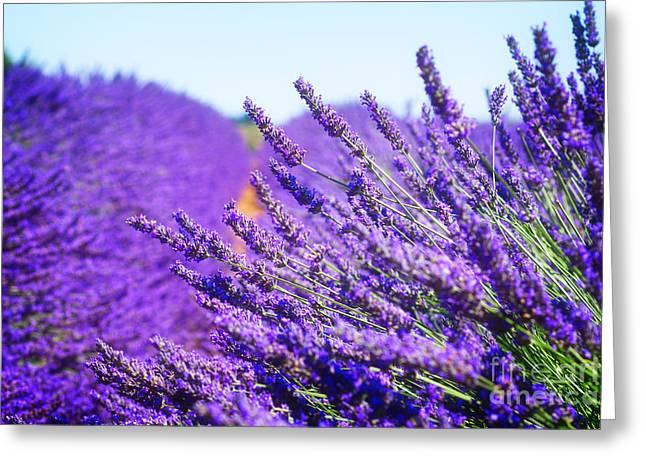 Lavender Field Greeting Card