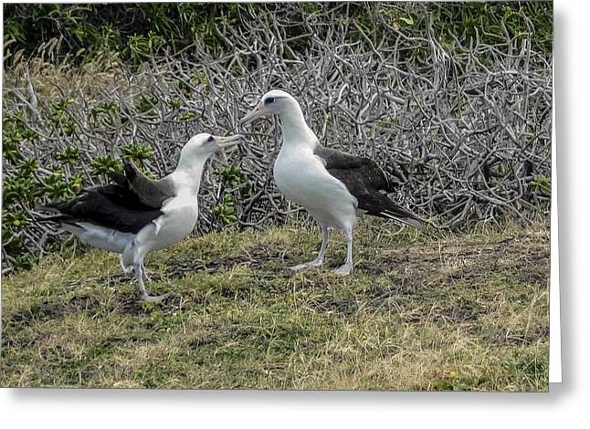 Laysan Albatross Hawaii #2 Greeting Card