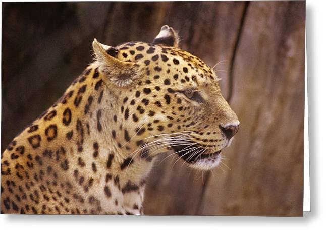 Greeting Card featuring the photograph Leopard by Donald Paczynski