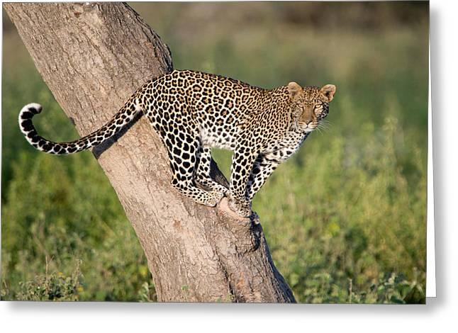 Leopard Panthera Pardus On Tree, Ndutu Greeting Card