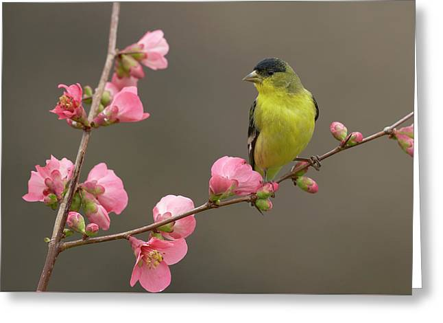 Lesser Goldfinch Greeting Card by Doug Herr