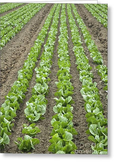 Lettuce Field Greeting Card