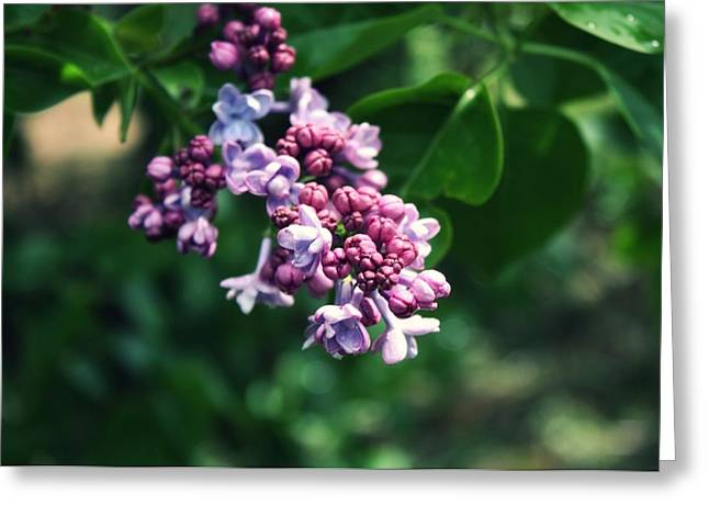 Lilac Greeting Card by Cathie Tyler