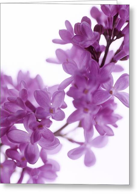 Vulgaris Greeting Cards - Lilac (syringa Vulgaris) Greeting Card by Cristina Pedrazzini
