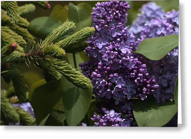 Lilacs In Bloom Greeting Card