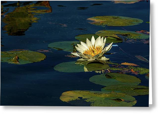 Lily Pad Greeting Card by Xavier Cardell