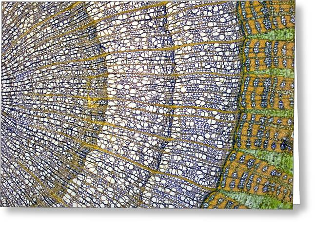 Lime Tree Stem, Light Micrograph Greeting Card by Steve Gschmeissner