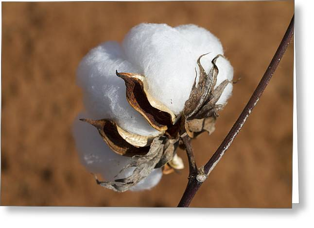 Limestone County Cotton Boll Greeting Card