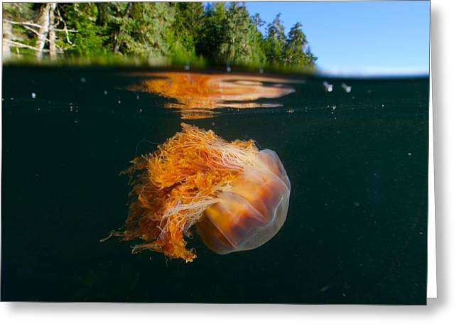 Image Setting Greeting Cards - Lions Mane Jellyfish Swimming Greeting Card by Paul Nicklen