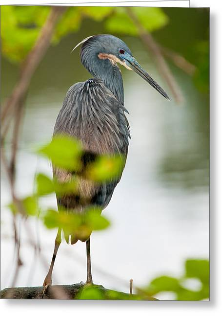 Greeting Card featuring the photograph Little Blue Heron by Christopher Holmes