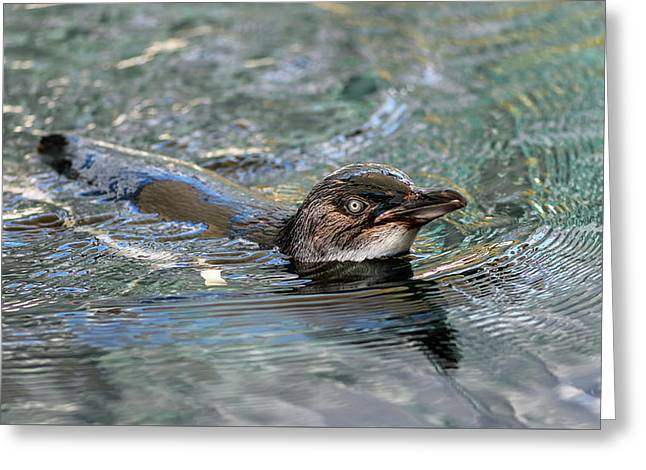 Little Penguin In The Water Greeting Card