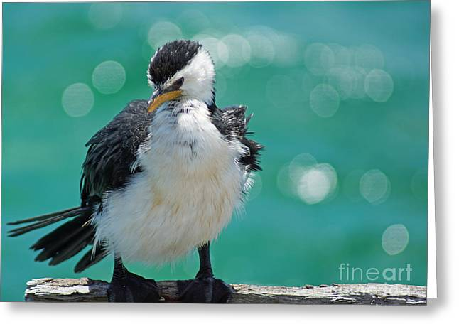 Little Pied Cormorant I Greeting Card
