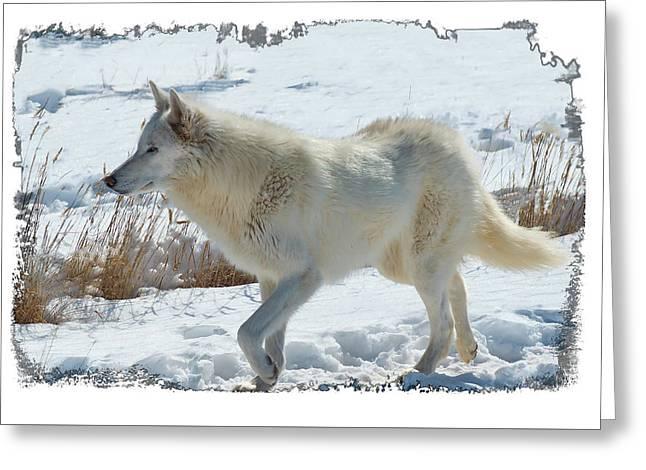 Lone White Wolf Greeting Card