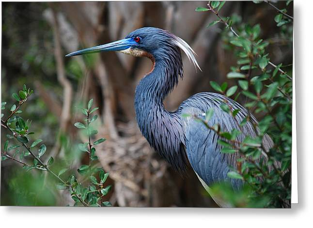 Louisiana Heron Greeting Card by Skip Willits