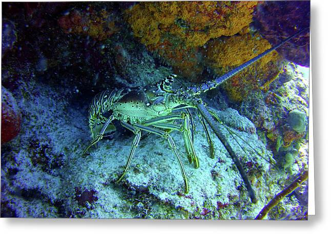 Lounging Lobster On The Palancar Reef Greeting Card