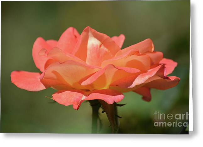 Lovely Rose Greeting Card by Ruth Housley