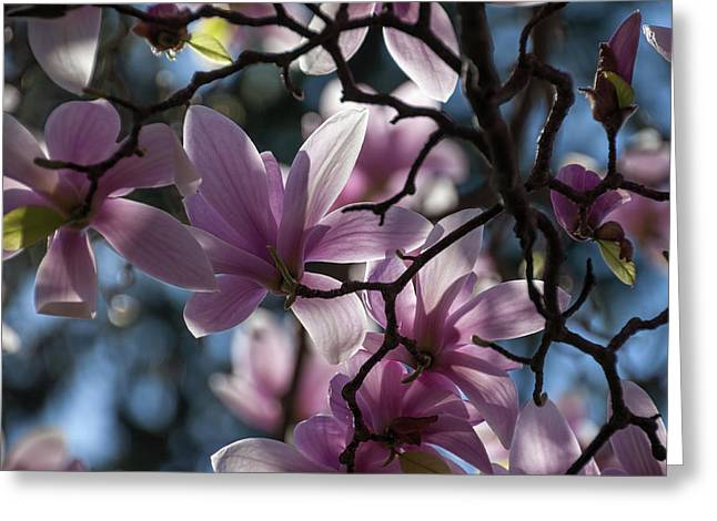 Magnolia Net - Greeting Card