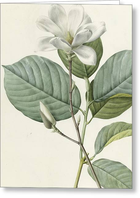 Magnolia Greeting Card by Pierre Joseph Redoute