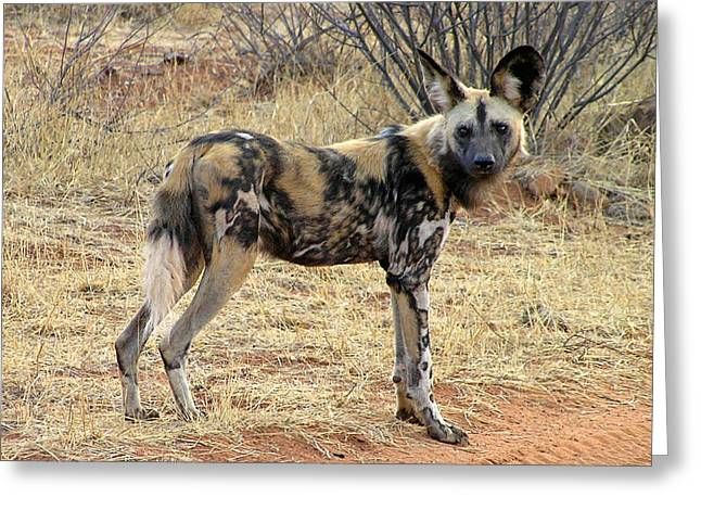 Greeting Card featuring the photograph Makanyane Dog by Phil Stone