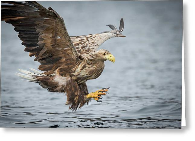 Male White-tailed Eagle Greeting Card by Andy Astbury