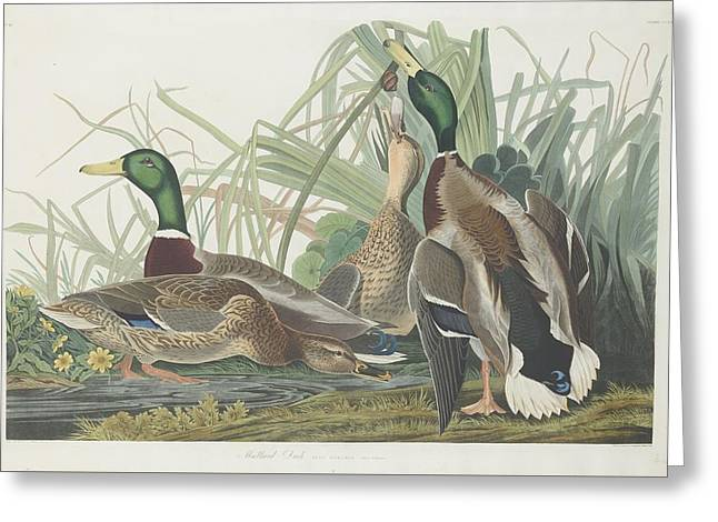Mallard Duck Greeting Card by Rob Dreyer