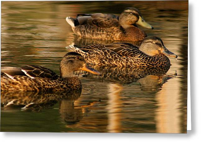Mallards Swimming In The Water At Magic Hour Greeting Card