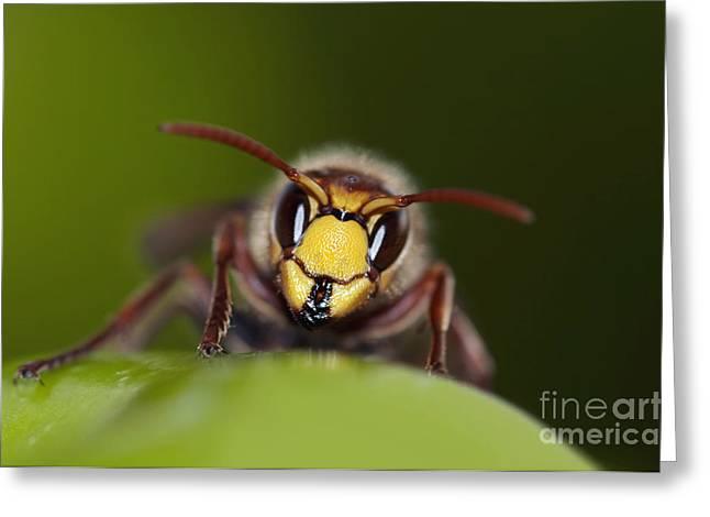 Mandibles Of Giant Hornet Greeting Card