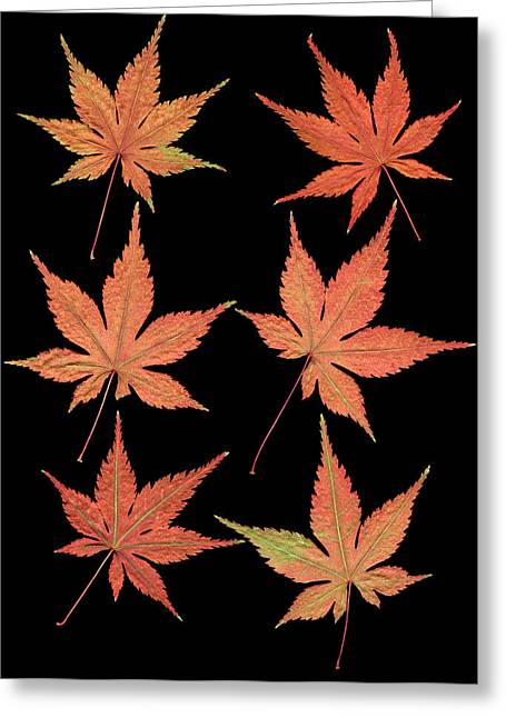 Levi Greeting Cards - Maple Leaves Greeting Card by Stefania Levi