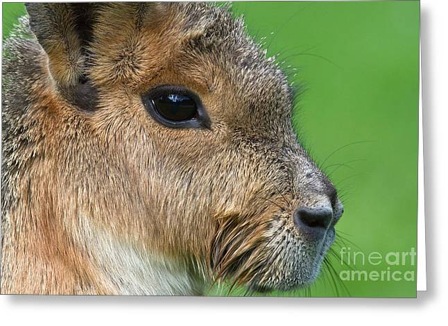 Mara Or Patagonian Hare Greeting Card