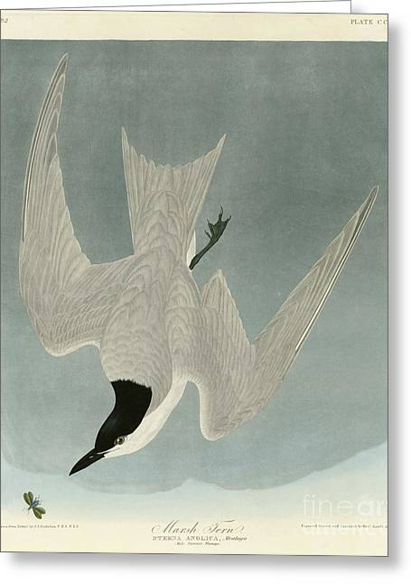 Marsh Tern Greeting Card by MotionAge Designs