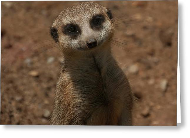 Greeting Card featuring the photograph Meerkat by Chris Flees