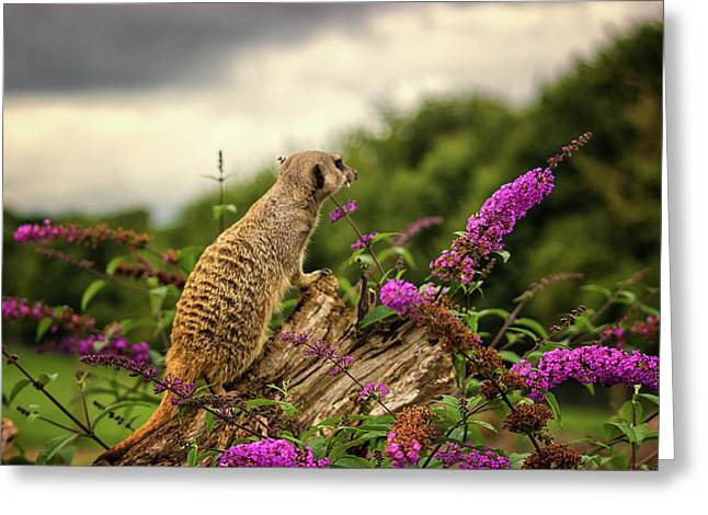Meerkat Lookout Greeting Card by Martin Newman