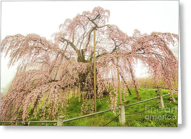 Greeting Card featuring the photograph Miharu Takizakura Weeping Cherry02 by Tatsuya Atarashi