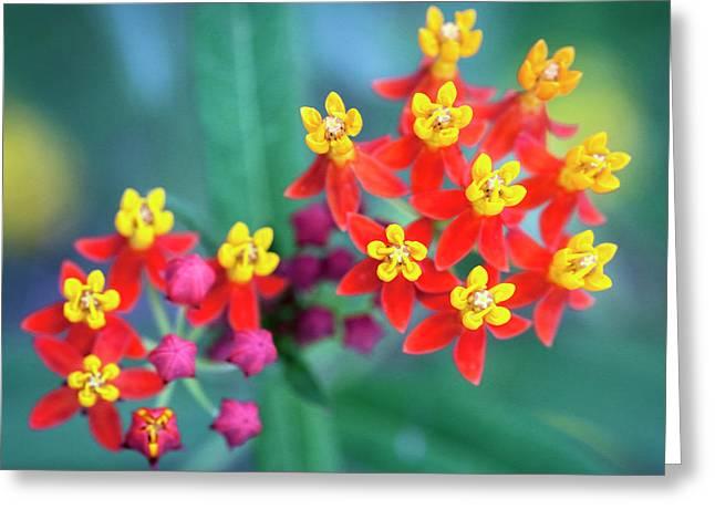 Milkweed Flowers Greeting Card by Rich Franco