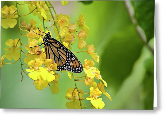 Monarch Butterfly On Yellow Orchids Greeting Card