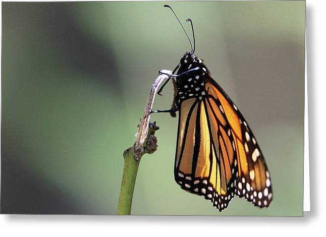 Monarch Butterfly Stony Brook New York Greeting Card
