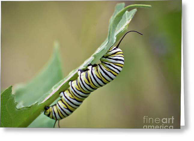 Greeting Card featuring the photograph Monarch Caterpillar by Kerri Farley