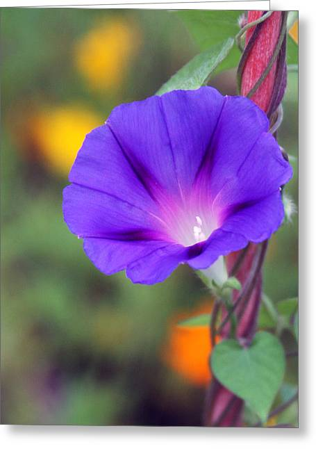 Greeting Card featuring the photograph Morning Glory by Vadim Levin